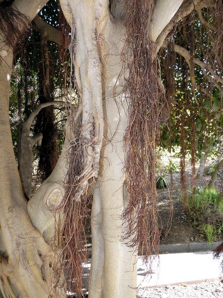 Ficus rubiginosa Desf. ex Vent. f. glabrescens (F.M. Bailey) D.J. Dixon