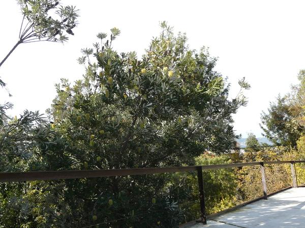 Banksia integrifolia L.f.
