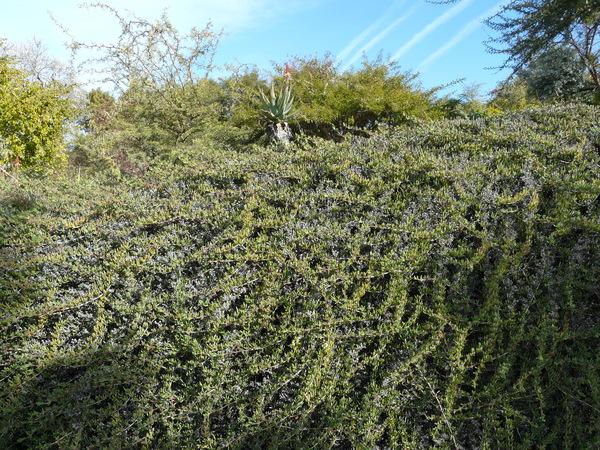 Ruschia macowanii (L. Bolus) Schwantes