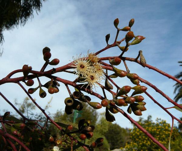 Eucalyptus loxophleba Benth.