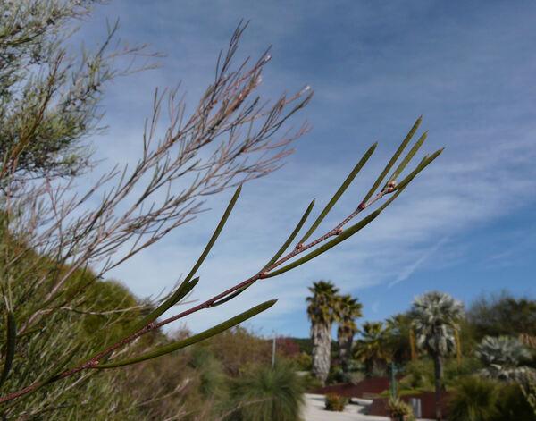 Melaleuca glomerata F. Muell.
