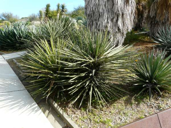 Yucca schidigera Roezl ex Ortgies