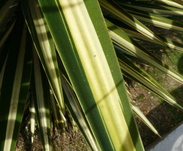 Yucca aloifolia L. var. marginata Bommer