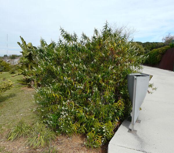 Buddleja salviifolia (L.) Lam.