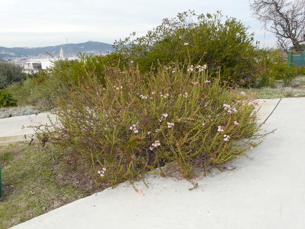 Eriogonum fasciculatum Benth.
