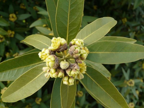 Umbellularia californica (Hook. & Arn.) Nutt.