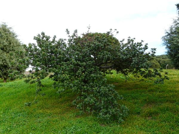 Ceanothus arboreus Greene 'Trewithen Blue'