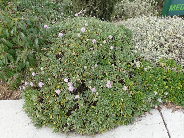 Lomelosia cretica (L.) Greuter & Burdet