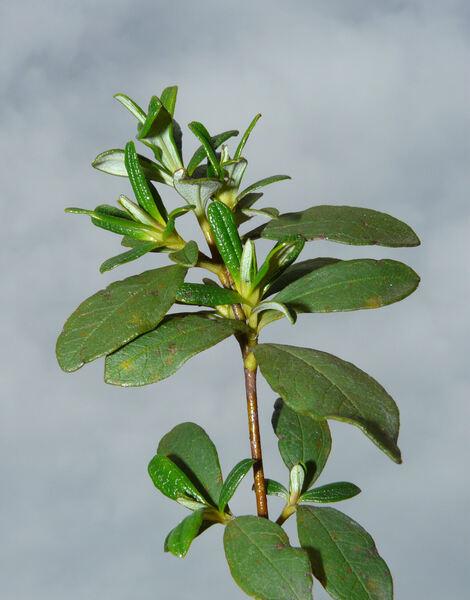 Cistus ladanifer L. subsp. sulcatus (Demoly) P. Monts.