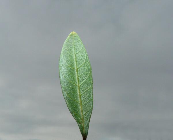 Rhamnus lycioides L. subsp. oleoides (L.) Jahand. & Maire