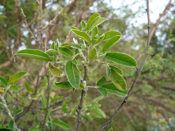Genista osmariensis Coss.