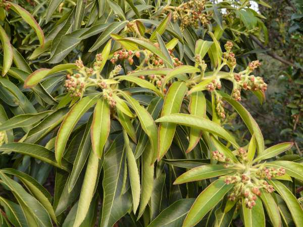 Arbutus canariensis Veillard ex Duhamel