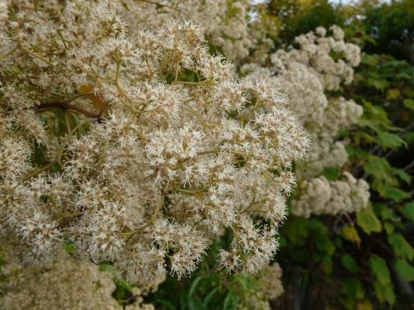 Nuxia floribunda Benth.