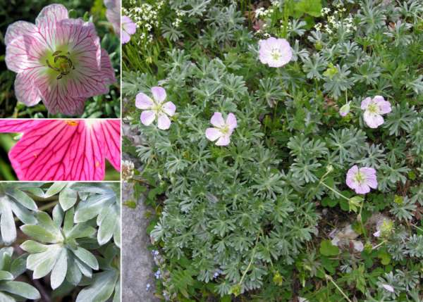 Geranium argenteum L.