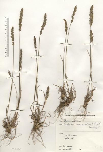 Koeleria macrantha (Ledeb.) Schult. subsp. macrantha