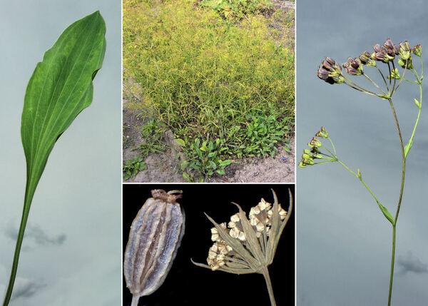 Bupleurum falcatum L. subsp. cernuum (Nyman) Arcang.