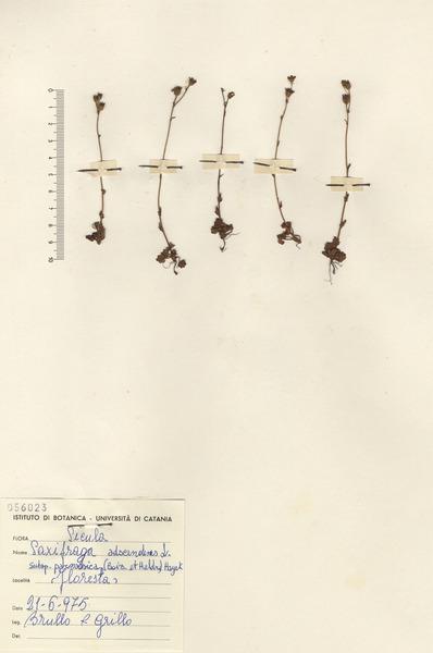 Saxifraga adscendens L. subsp. parnassica (Boiss. & Heldr.) Hayek