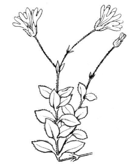 Arenaria bertolonii Fiori