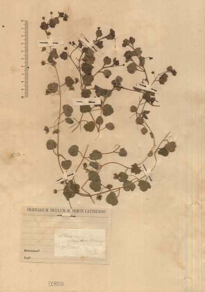 Veronica cymbalaria Bodard subsp. panormitana (Tineo ex Guss.) Nyman