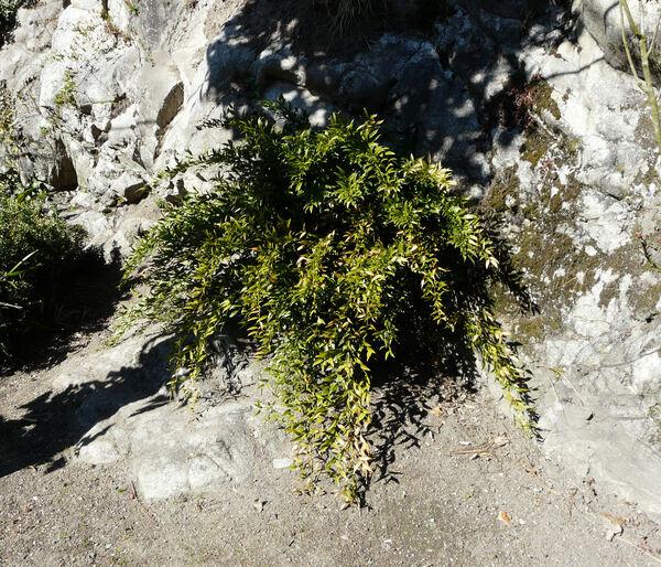 Danaë racemosa (L.) Moench