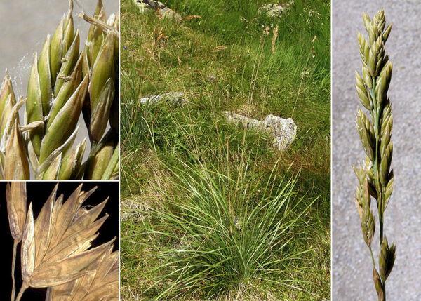 Patzkea paniculata (L.) G.H.Loos subsp. paniculata