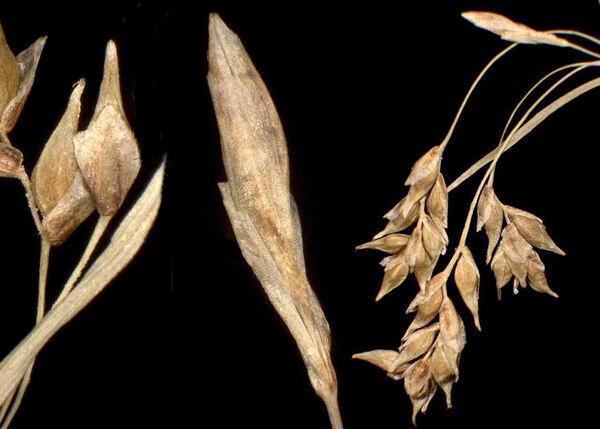 Carex capillaris L. subsp. capillaris