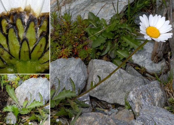 Leucanthemum adustum (W.D.J.Koch) Gremli subsp. adustum