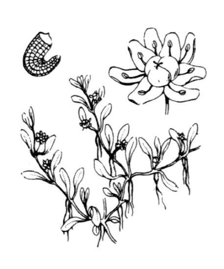 Elatine hydropiper L.