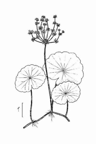 Hydrocotyle bonariensis Lam.