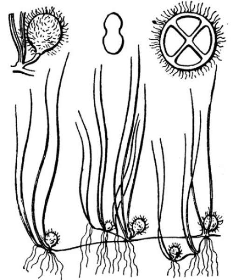 Pilularia globulifera L.