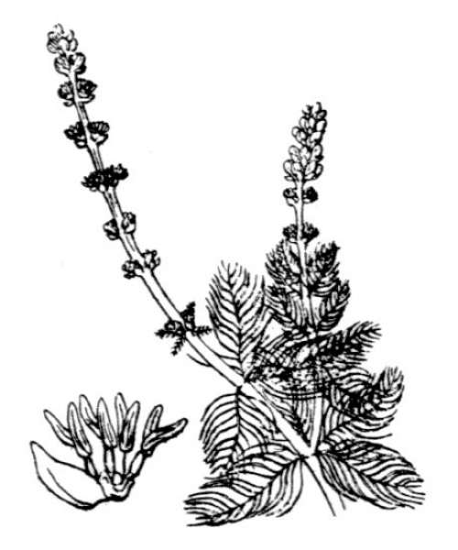 Myriophyllum spicatum L.