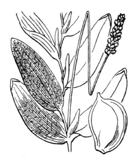 Potamogeton praelongus Wulfen