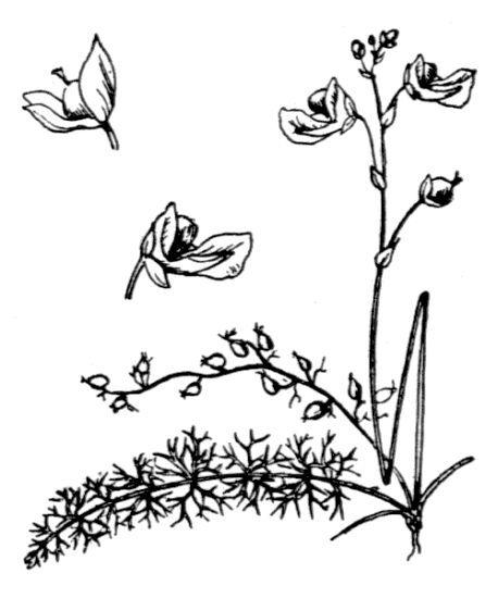 Utricularia intermedia Dreves & Hayne