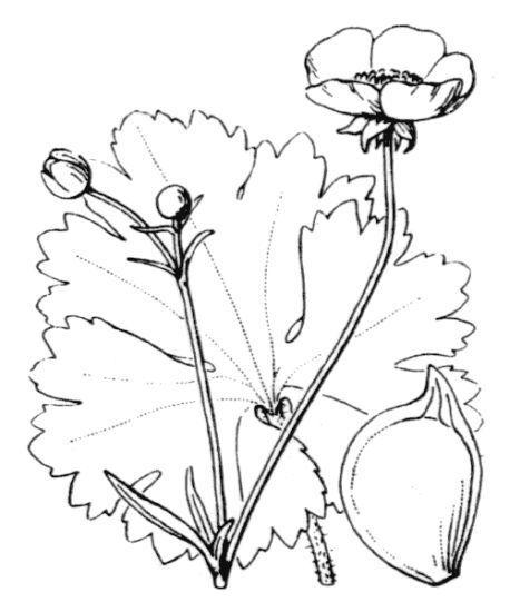Ranunculus macrophyllus Desf.