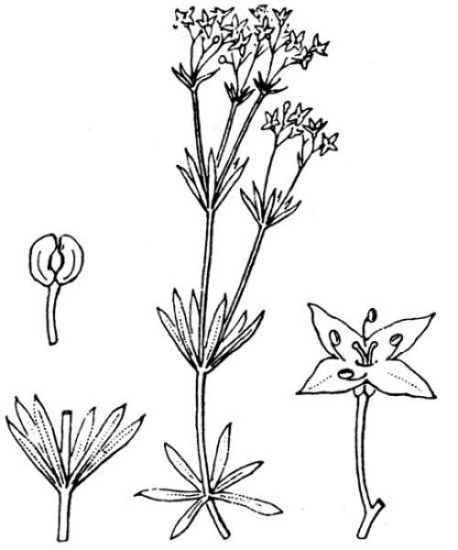 Galium anisophyllon Vill.