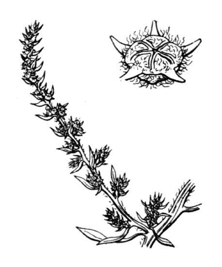 Bassia hyssopifolia (Pall.) Kuntze
