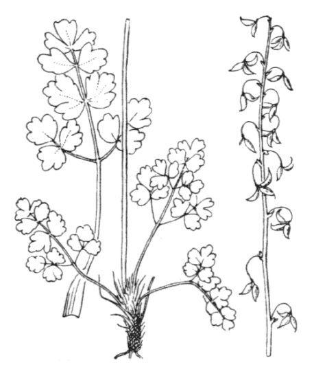 Thalictrum alpinum L.