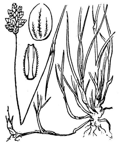 Oreochloa seslerioides (All.) K.Richt.