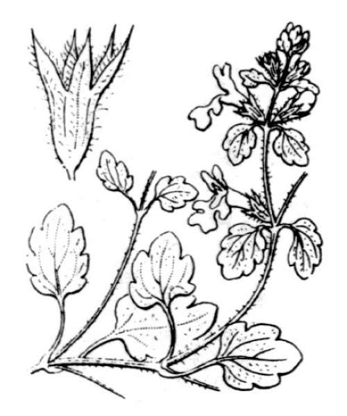 Stachys corsica Pers.