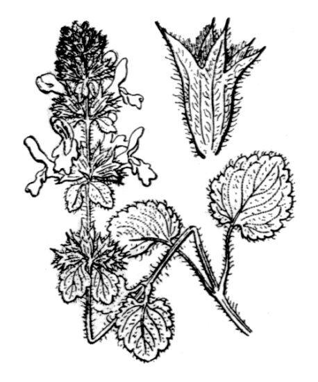 Stachys marrubiifolia Viv.