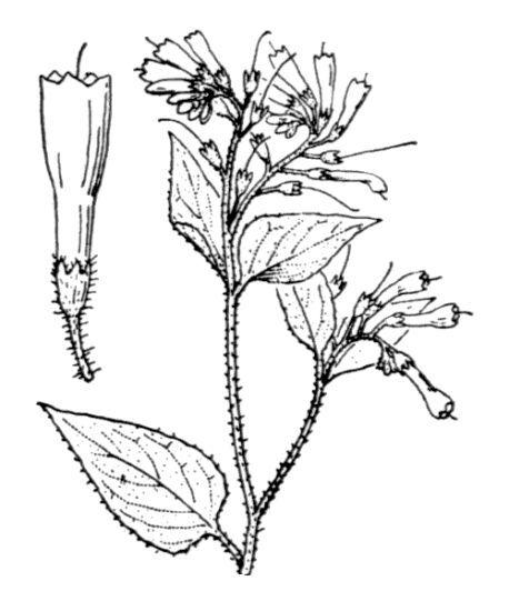 Symphytum orientale L.