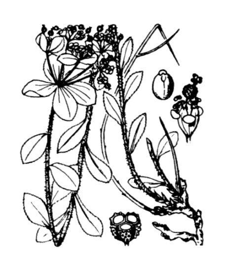 Euphorbia flavicoma DC. subsp. flavicoma