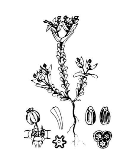 Euphorbia sulcata Lens ex Loisel.