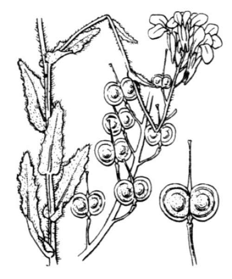 Biscutella cichoriifolia Loisel.