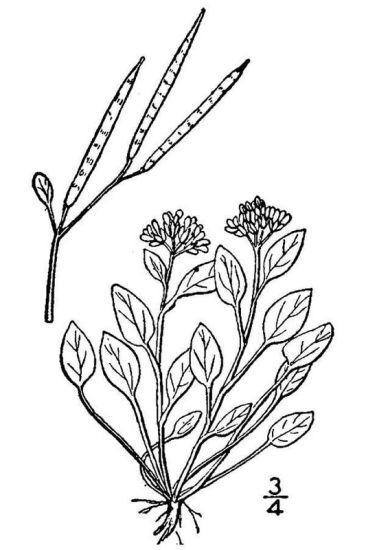 Cardamine alpina Willd.