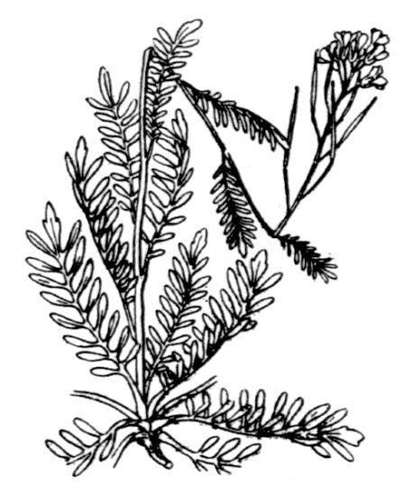 Cardamine parviflora L.