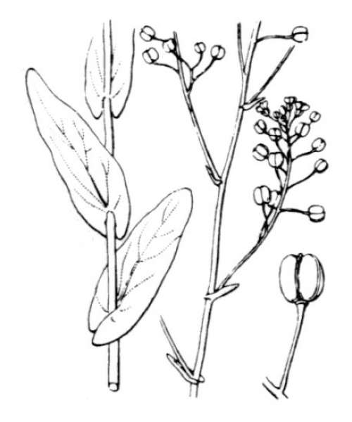 Ionopsidium glastifolium (L.) M.Koch