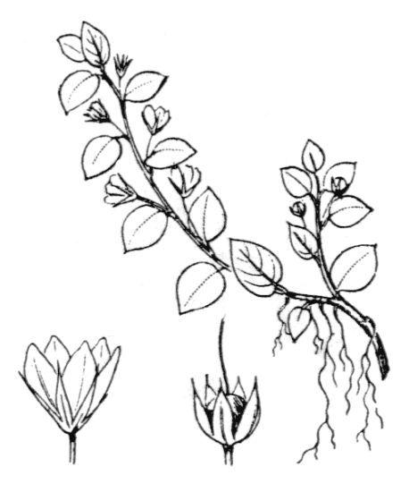 Lysimachia tyrrhenia U.Manns & Anderb.