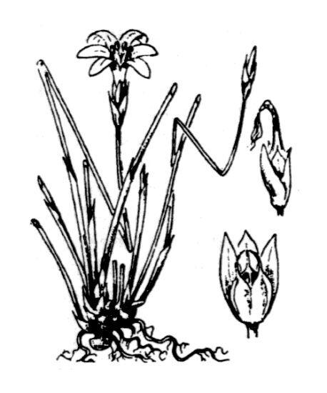Aphyllanthes monspeliensis L.
