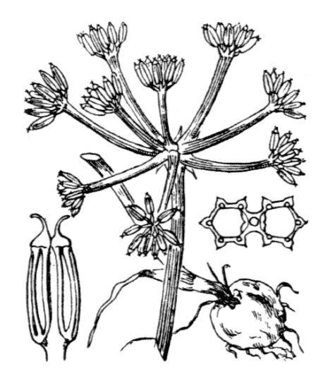 Bunium pachypodum P.W.Ball